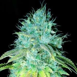 Emerald TriangleSour Puss Feminised Seeds