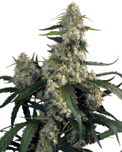 Buddha SeedsQuasar Feminised Seeds