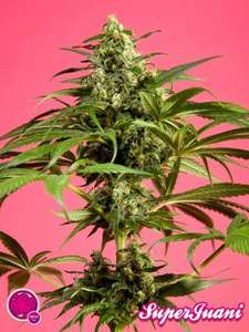 Philosopher SeedsSpicy CBD Feminised Seeds