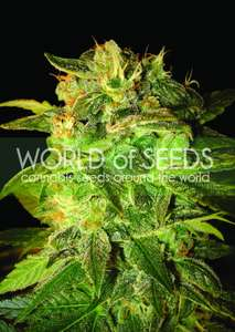 World of SeedsSugar Mango Ryder Auto Feminised Seeds