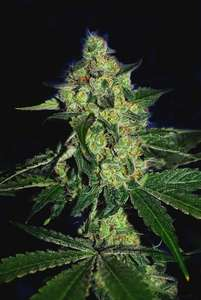 Cali ConnectionSugar Mill Feminised Seeds (Gold Collection) - 6