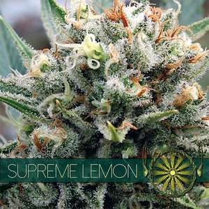 Vision SeedsSupreme Lemon Feminised Seeds