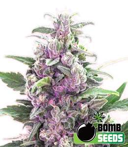 Bomb SeedsTHC Bomb Auto Feminised Seeds