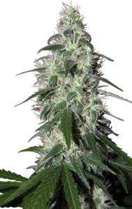 Buddha SeedsPulsar Feminised Seeds