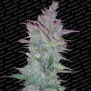 Paradise SeedsVertigo Auto Feminised Seeds