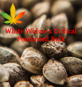 White Widow cross Critical feminised cannabis seeds