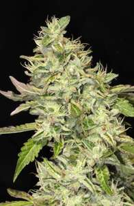 Mamiko Seeds Sour Cookies Feminised cannabis seeds