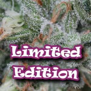 Tangerine Headband Feminised(Limited Edition)  Cannabis Seeds by Dr Underground