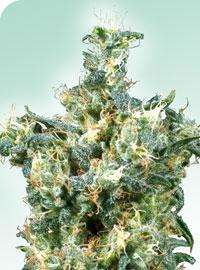Sensi Seeds American Dream Regular cannabis seeds