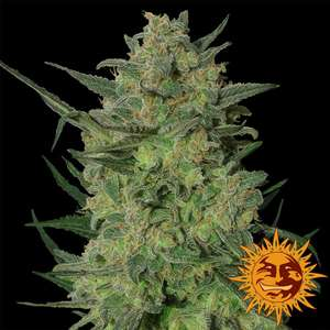 Barney's Farm Seeds LSD Feminised cannabis seeds