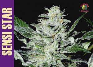 Paradise Seeds Sensi Star Feminised cannabis seeds