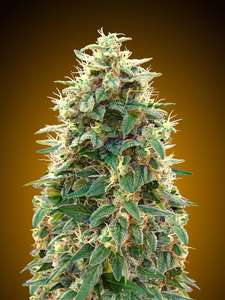 00 Seeds00 Cheese Auto Feminised Seeds - 5