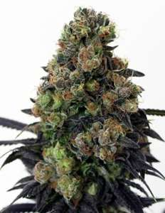 Ripper SeedsAcid Dough Feminised Seeds