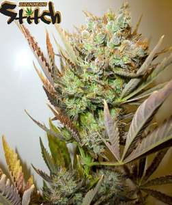 Flash SeedsAce Autoflowering Feminised Seeds - 3