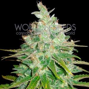 World of Seeds Afghan Kush x Black Domina Feminised cannabis seeds