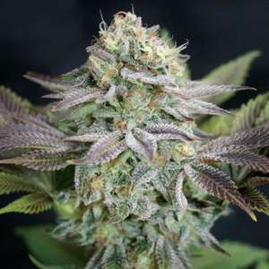 Garden Of GreenBlue Dream Feminised Seeds
