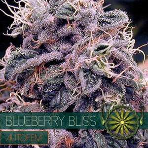 Vision Seeds Blueberry Bliss Auto Feminised cannabis seeds