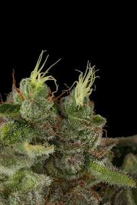 Humboldt Seeds Bubba Kush Feminised- HS cannabis seeds