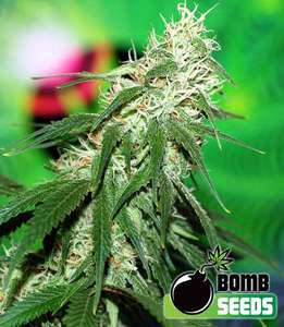Bomb Seeds Buzz Bomb Feminised cannabis seeds