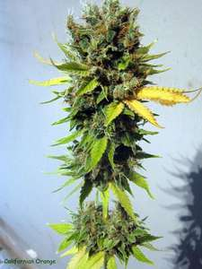 Seedsman California Orange Feminised cannabis seeds