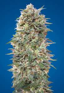 00 SeedsCalifornia Kush Feminised Seeds - 5