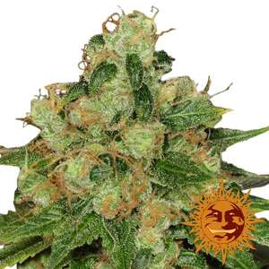Barney's Farm Seeds Caramel CBD Regular  cannabis seeds