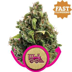 Royal Queen Seeds Candy Kush Express FAST Feminised cannabis seeds