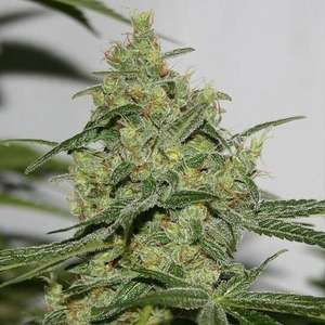 Connoisseur Genetics Cheese 'n' Chong Feminised cannabis seeds