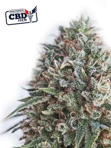 Positronic SeedsCritical 47 CBD Feminised Seeds