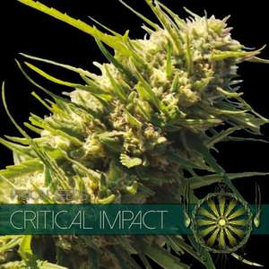 Vision SeedsCritical Impact Feminised Seeds