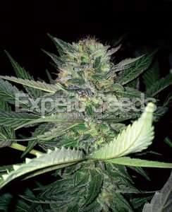 Expert Seeds Critical Lights Feminised cannabis seeds