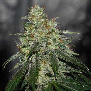 Karma Genetics Di Frutti Ltd. Edition Regular  cannabis seeds