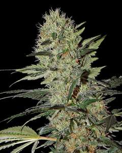 Greenhouse Seed Co.Exodus Cheese Auto Feminised Seeds