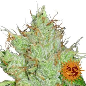 Barney's Farm Seeds G13 Haze Regular  cannabis seeds