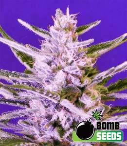 Bomb Seeds Ice Bomb Feminised cannabis seeds