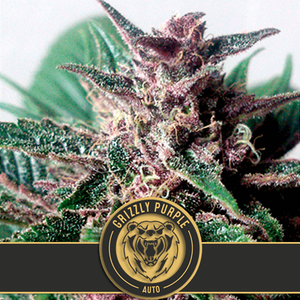 BlimBurn Seeds Grizzly Purple Auto Feminised cannabis seeds
