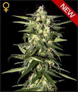 Greenhouse Seed Co.Jack Herer Auto Feminised Seeds
