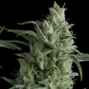 Pyramid Seeds Kryptonite Feminised cannabis seeds