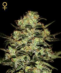 Greenhouse Seed Co.Moby Dick Feminised Seeds
