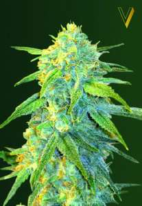 Victory SeedsNorthern Light Auto Feminised Seeds