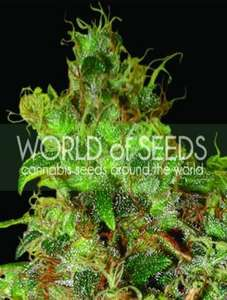 World of SeedsNorthern Light x Skunk Feminised Seeds
