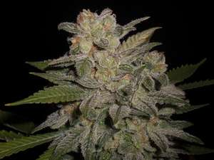 Expert SeedsNorthern Lights Auto Feminised Seeds