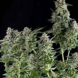 Pyramid SeedsNorthern Lights CBD Feminised Seeds
