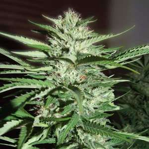 G13 LabsPineapple Express Feminised Seeds - 5