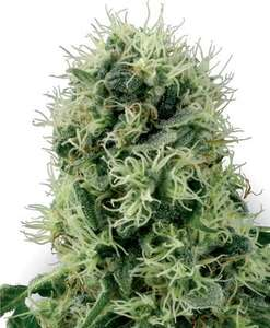 White Label Seed CompanyPure Power Plant Feminised Seeds