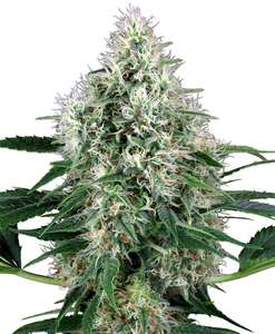 White Label Seed CompanyPure Power Plant Auto Feminised Seeds
