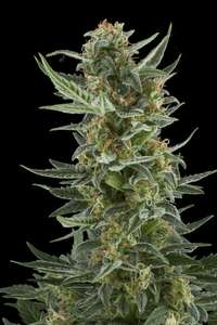 Royal Queen SeedsRoyal Dwarf Auto Feminised Seeds