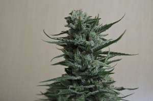 Kalashnikov SeedsSiberian Haze Feminised Seeds