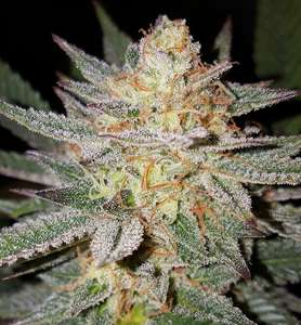 Lineage GeneticsSour Grape Regular Seeds