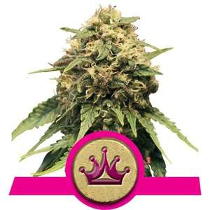 Royal Queen SeedsSpecial Queen #1 Feminised Seeds